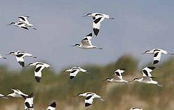 http://www.ijsselmeervereniging.nl/nieuwsbrief/ijnb26/vogels.jpg